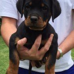 Micro business solution for Denaz Rottweilers